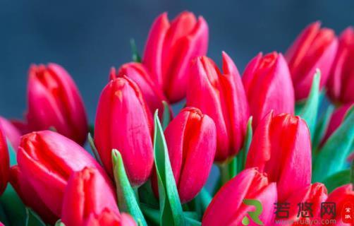 郁金香的花边是怎样形成的 花边可能是种球基因突变
