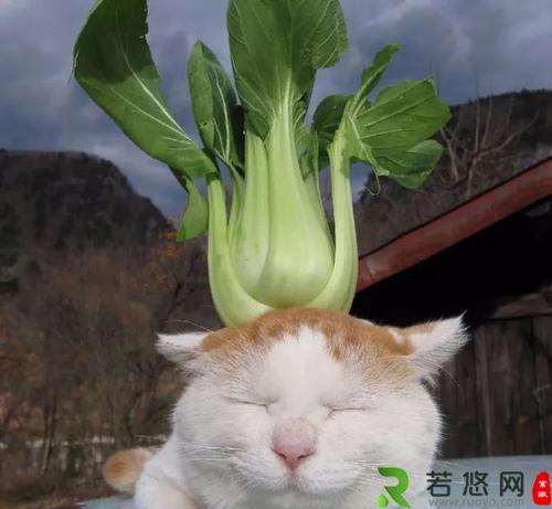 """日本网红猫咪""""猫叔""""去世,""""猫叔""""表情包大全"""