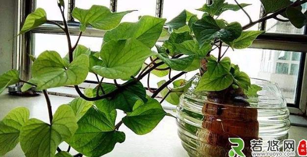 土豆发芽不能吃了就得扔掉?四种巧用发芽土豆的实用小妙招